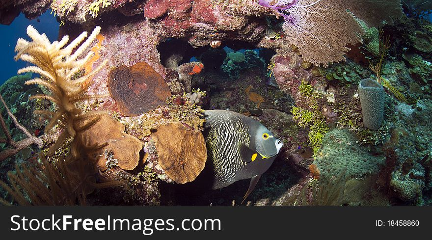 Coral reef - French Angelfish (Pomacanthus paru)