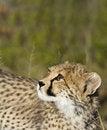 Free Cheetah Cub Royalty Free Stock Images - 18460849