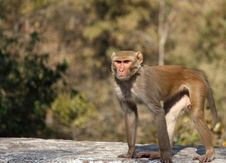 Free Indian Capuchin Monkey Royalty Free Stock Image - 18460146