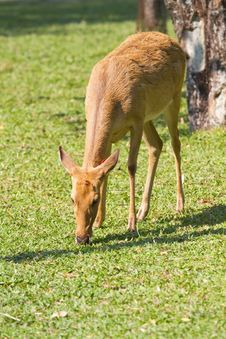 Deer Stock Photos