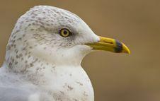 Free Juvenile Seagull Profile Stock Photography - 18469252