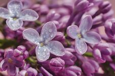Free Lilac Buds Blooming Close Up With Drops Royalty Free Stock Image - 184648976