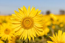 Free Field Of Sunflowers In The Summer Royalty Free Stock Images - 184657649