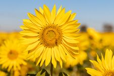 Free Field Of Sunflowers In The Summer Stock Images - 184657664