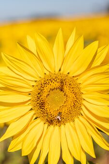 Free Field Of Sunflowers In The Summer Royalty Free Stock Photo - 184657725