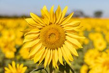 Free Field Of Sunflowers In The Summer Stock Image - 184657781