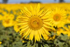 Free Field Of Sunflowers In The Summer Stock Image - 184657811