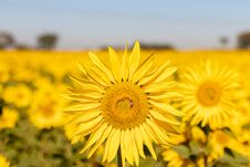 Field Of Sunflowers In The Summer Royalty Free Stock Photo