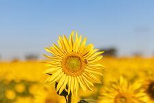 Free Field Of Sunflowers In The Summer Stock Photography - 184657912