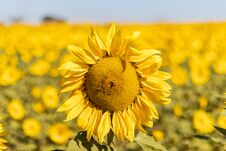 Free Field Of Sunflowers In The Summer Royalty Free Stock Photography - 184657927