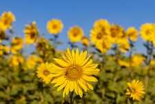 Field Of Sunflowers In The Summer Stock Photos