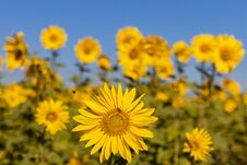 Field Of Sunflowers In The Summer Stock Image