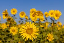 Field Of Sunflowers In The Summer Royalty Free Stock Photos