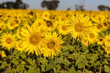 Field Of Sunflowers In The Summer Royalty Free Stock Image