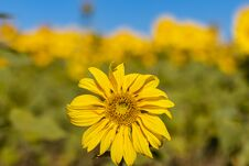 Field Of Sunflowers In The Summer Stock Photography