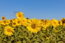 Field Of Sunflowers In The Summer Stock Images