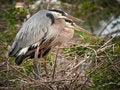 Free Great Blue Herons Nesting Royalty Free Stock Photos - 18470028