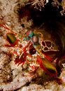Free Peacock Mantis Shrimp Stock Photography - 18477692