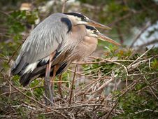 Free Great Blue Herons Nesting Royalty Free Stock Photos - 18470028