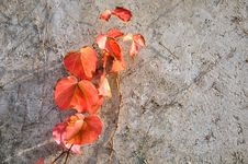 Free Red Leaf Of Vine Plant Attached On Wall Royalty Free Stock Photos - 18470258