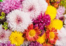 Colorful Chrysanthemum And Daisy Flowers Royalty Free Stock Images
