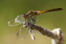 Free Ruddy Darter On A Branch Royalty Free Stock Photography - 18474937