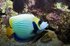 Free Emperor Angelfish Royalty Free Stock Images - 18475489