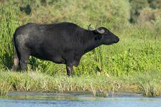 Free Water Buffalo (female) Grazing Stock Photography - 18475832