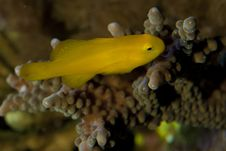 Free Citron Clown Goby Stock Photography - 18475842
