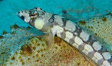 Free Blackbarred Sandperch Resting On A Sea Cucumber Stock Photo - 18476480