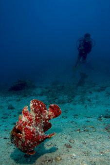 Diver Watching Swimming Giant Frogfish Royalty Free Stock Photo
