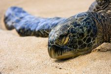 Hawaiian Green Sea Turtle Basking In The Sun. Royalty Free Stock Photos