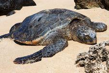 Free Hawaiian Green Sea Turtle Basking In The Sun. Stock Image - 18477241