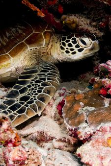 Free Green Turtle Resting In The Reef Royalty Free Stock Photography - 18477317