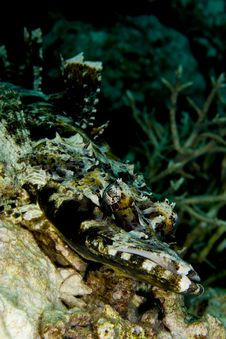 Free Indian Ocean Crocodilefish Royalty Free Stock Images - 18477449