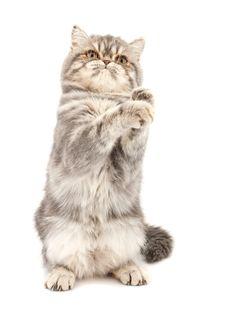 Free Exotic Short-haired Kitten. Stock Photos - 18477513