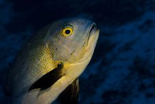 Free Midnight Snapper Swimming Over A Coral Reef Royalty Free Stock Photo - 18477605