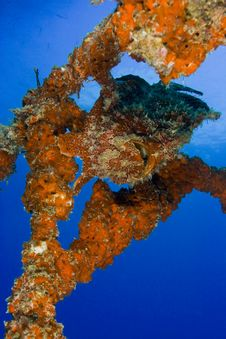 Orange Variation Giant Frogfish On Artificial Reef Royalty Free Stock Image