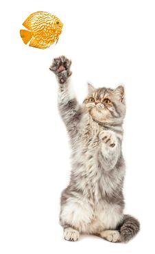 Free Exotic Short-haired Kitten. Stock Image - 18477741