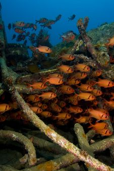 Free Shoal Of Soldierfish On An Artificial Reef Royalty Free Stock Images - 18478019
