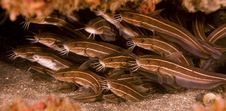 Free Shoal Of Striped Catfish Stock Photos - 18478033