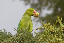 Free Green Parrot Eating A Cypress Cone Royalty Free Stock Photo - 18478695