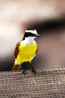 Free Great Kiskadee Yellow And Brown Bird Royalty Free Stock Photo - 18479495