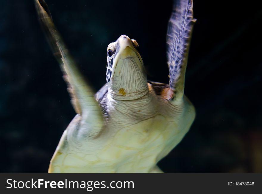 Underwater Sea turtle