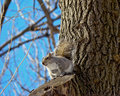 Free Grey Squirrel On A Tree Royalty Free Stock Photography - 18484487