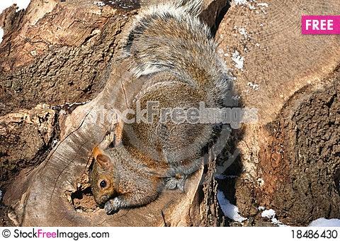 Free Grey Squirrel Stock Photo - 18486430