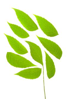Free Green Leafs Royalty Free Stock Photos - 18480158