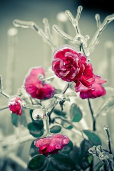 Free Iced Roses Stock Photos - 18481773