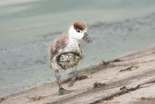 Comon Shelduck Chick (Tadorna Tadorna) Royalty Free Stock Photography