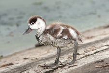 Comon Shelduck Chick (Tadorna Tadorna) Royalty Free Stock Photos
